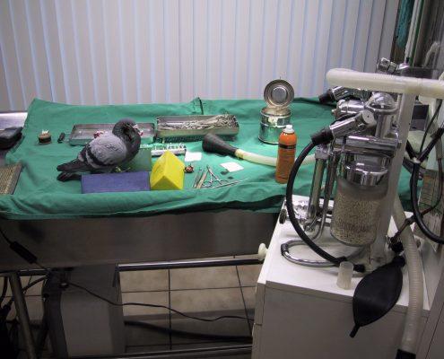 Operatie bij een duif Dierenkliniek Othene Terneuzen
