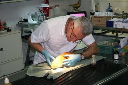 Koi operatie Dierenkliniek Othene Terneuzen